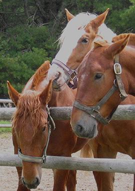 Compléments alimentaires Elevage & reproduction des chevaux