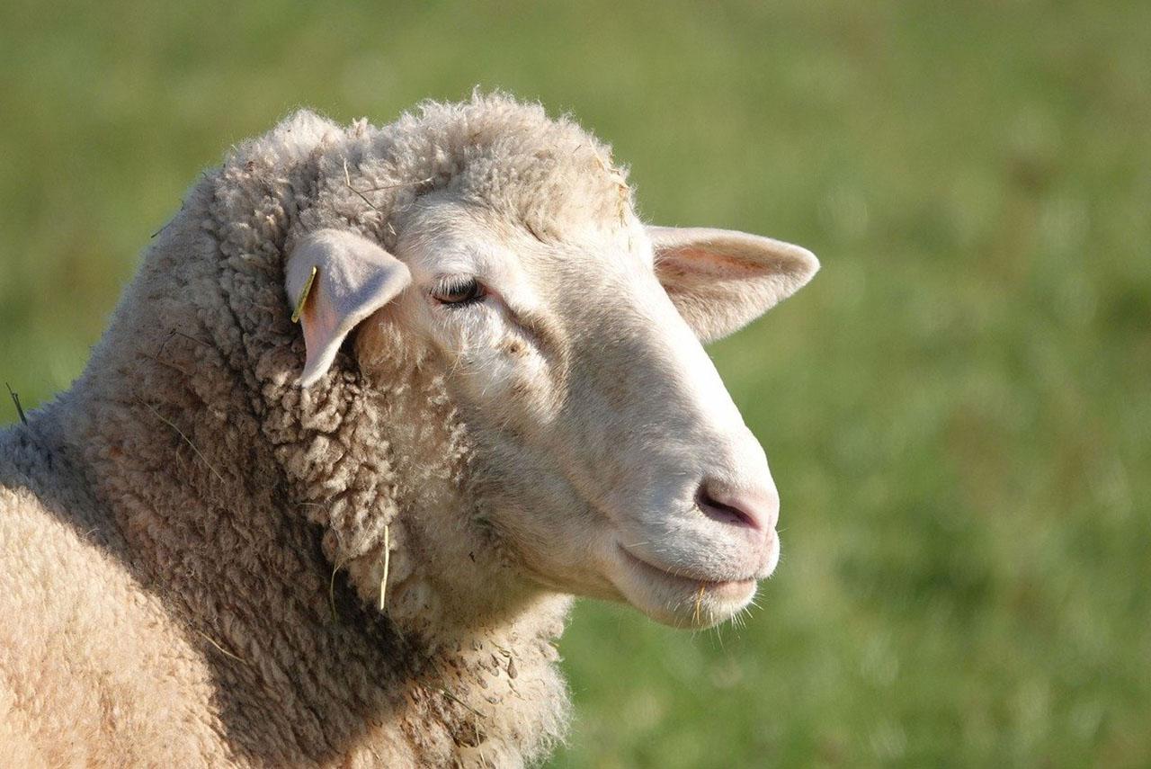 Produits antiparasitaire pour moutons