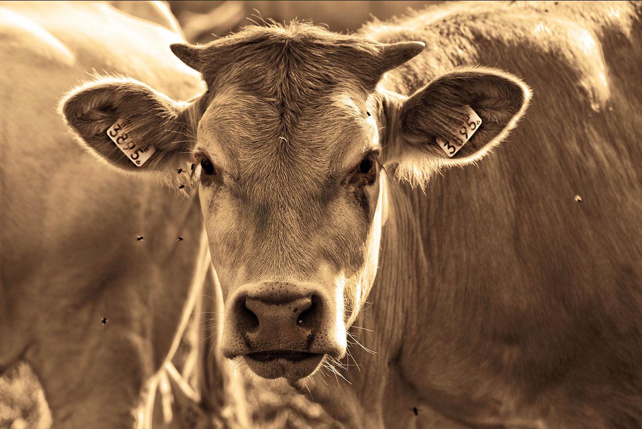 Produits Antimouches pour bovin