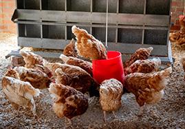 Produits vétérinaires diététique de la volaille