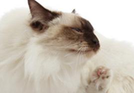Anti-puces et tiques pour chats