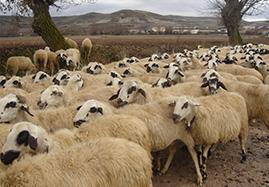 Compléments alimentaires du mouton et de la brebis