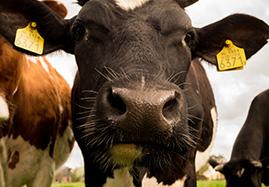 Compléments alimentaires Vache laitière