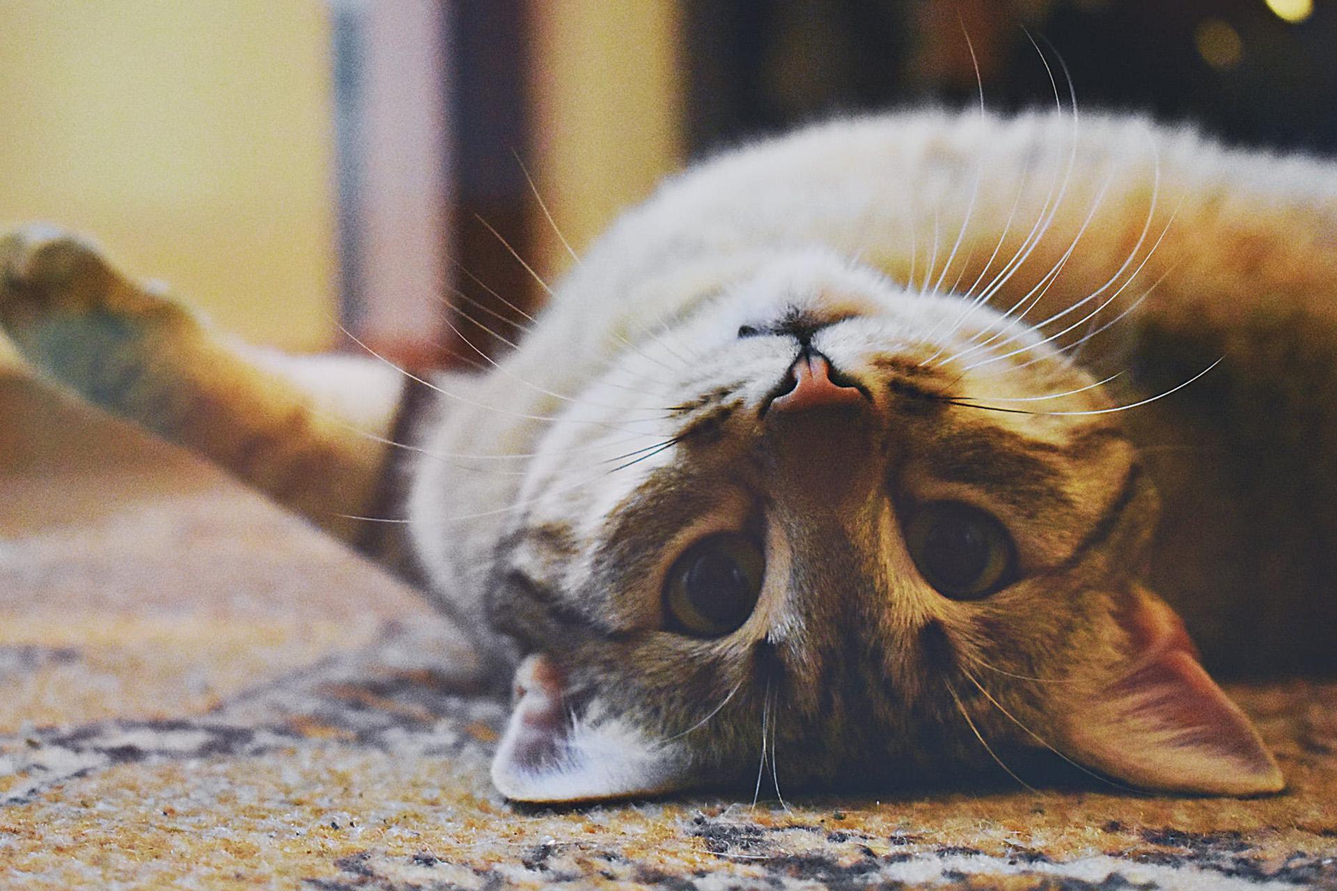 Comprimés anti-puce pour chat Capstar