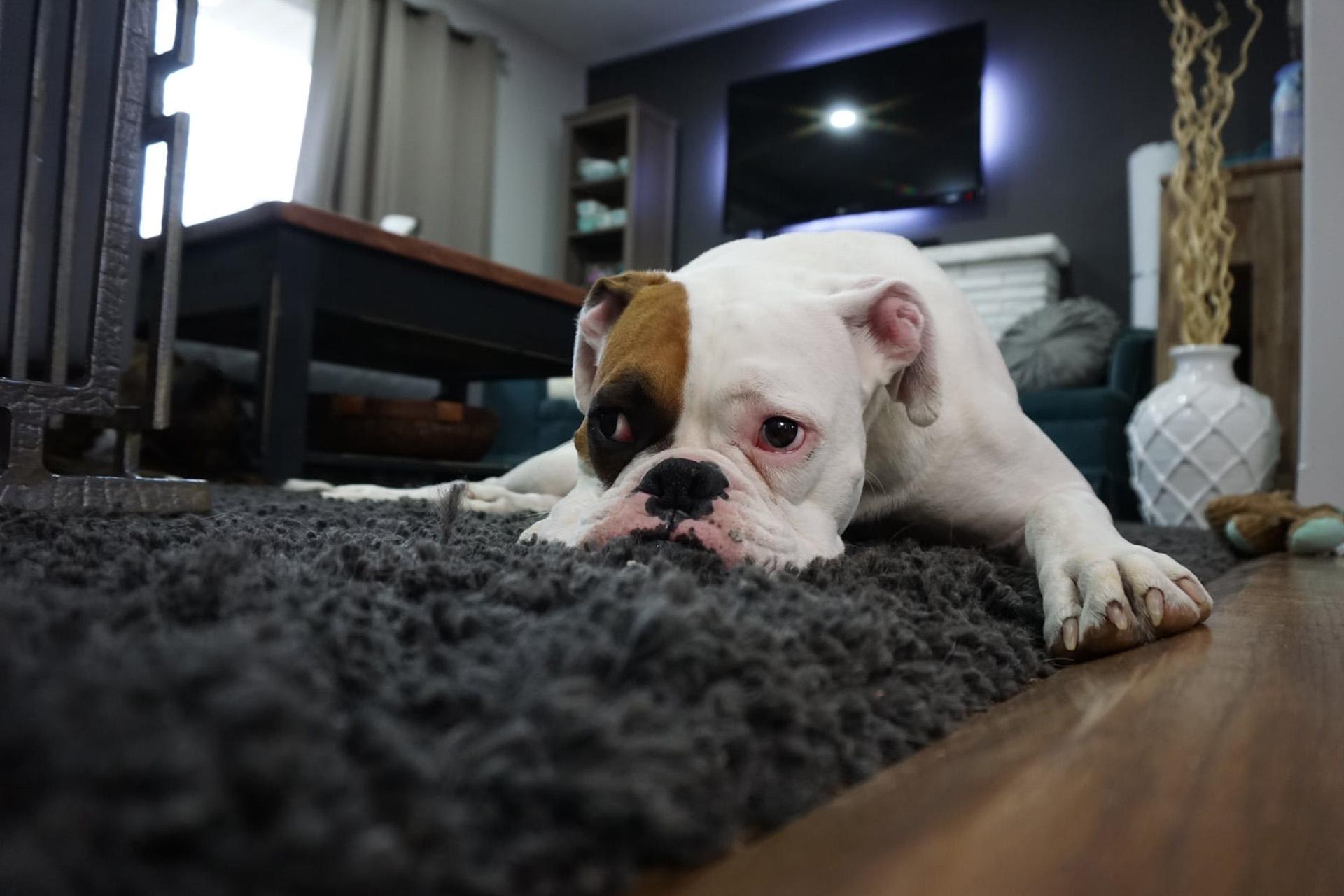 Light régime du chien (croquettes) et chien stérilisé