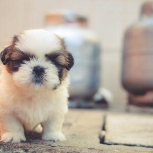 Croquettes pour Chiots croissance PROPLAN® , Royal Canin® et Virbac®
