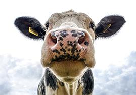 Matériel pour bovin : Vaches, veaux, boeufs