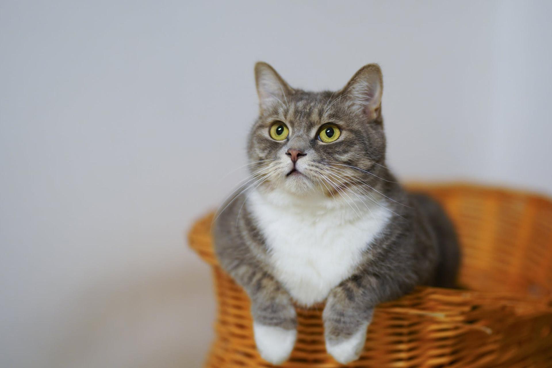 Pipettes Anti-puces et tiques pour chats