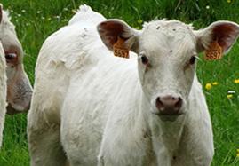 Produits vétérinaires pour veaux