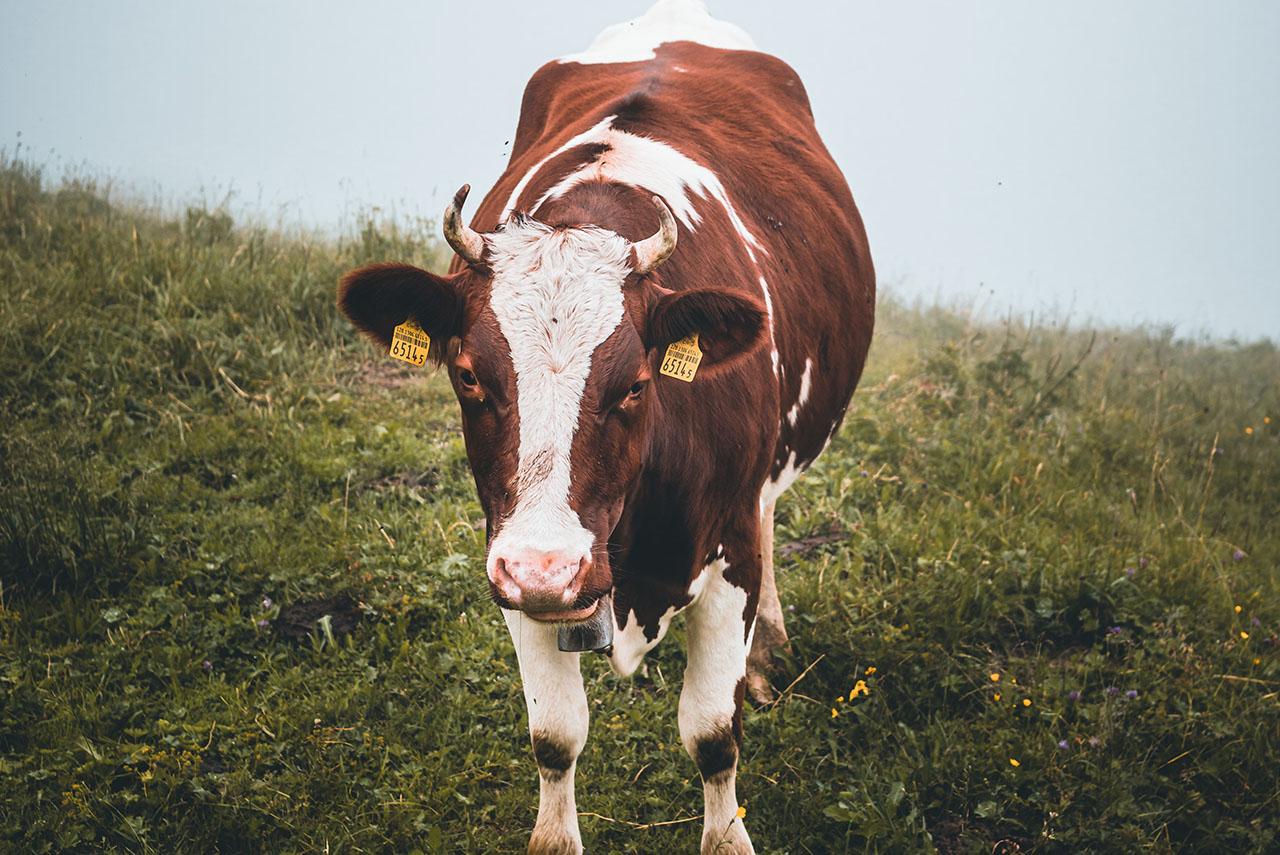 Soins des plaies de la vache laitière