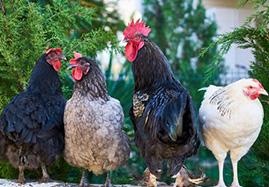Matériel volaille (pigeons, poules, lapins...)